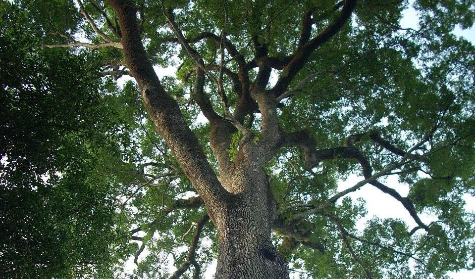 Conheça a árvore mais velha do Brasil